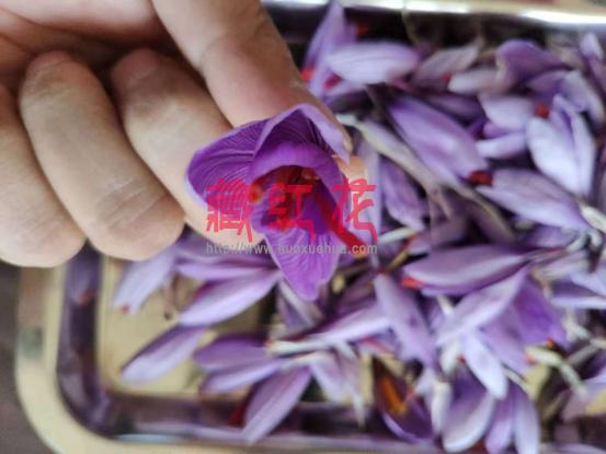 晨露初朵为藏红花最高品级