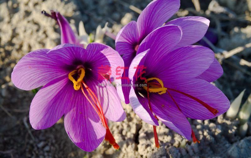 藏红花是个宝,可是功效您知道多少,藏红花这样吃效果才最好
