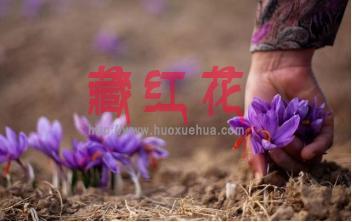 晨露初朵品级藏红花为何要求清晨采摘?
